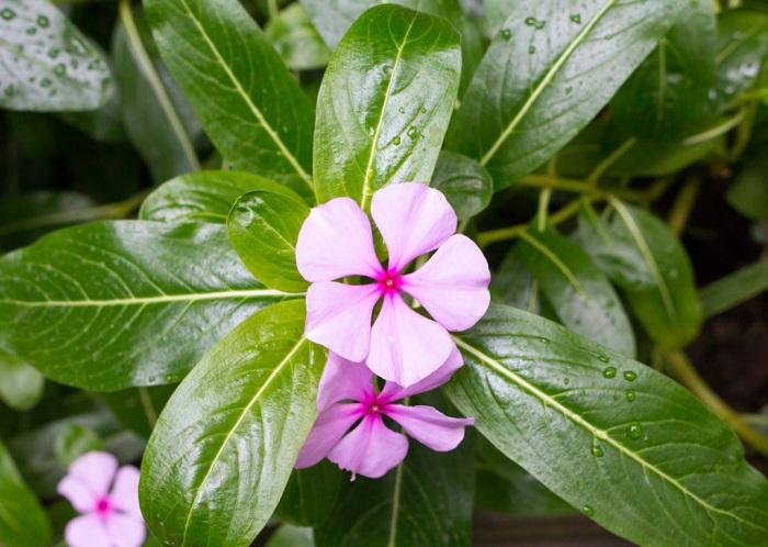 ニチニチソウは5月~10月頃まで、真夏の暑さの中でも次々と花を咲かせます。湿気に弱い性質があるので、日の当たる水はけの良い場所で育てます。寒さに弱く、日本の気候では一年草として扱われています。