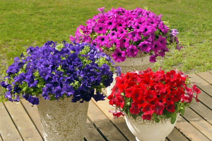 サフィニアが30年もの長い間、ガーデニングで最も有名な花として親しまれてきたのは、初心者でも豪華にあふれるように花を咲かせることができる育てやすさにあります。