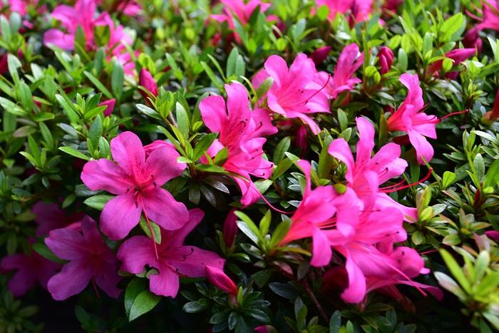サツキの特徴 サツキはとても強健でよく花を咲かせる常緑低木です。育てやすさと花付きのよさから、庭木の他に街路樹や生垣としても愛されています。サツキの花色はピンクの他に白、赤、複色などがあります。