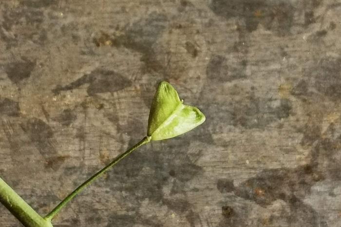 ぺんぺん草という名前を聞いたことはありますか?ぺんぺん草とはナズナの別名です。ナズナとぺんぺん草に違いはありません。  ナズナがぺんぺん草と呼ばれる理由や、ぺんぺん草の遊び方を紹介します。