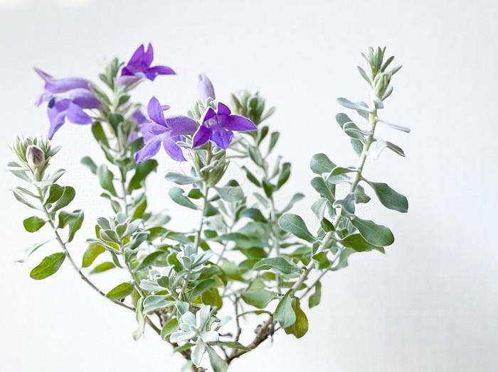 エレモフィラ・トビーベルは、エレモフィラ・ニベアより少し濃いブルーをした大きめの花を咲かせます。葉は平べったい小葉で、ニベアよりはやや緑色のシルバーリーフです。ニベアと比べると四季咲き性が強い性質があります。