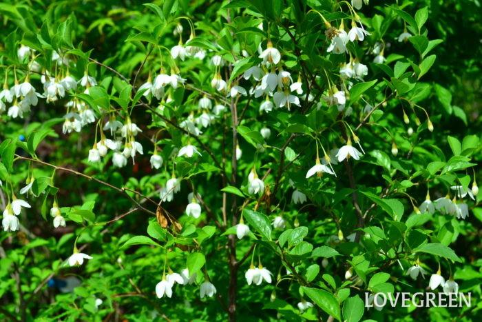 エゴノキ  同属のエゴノキと花が似ていますが、見分け方は「葉の形状」で見分けることができます。ハクウンボクの葉の形はエゴノキより大きく丸い形をしています。