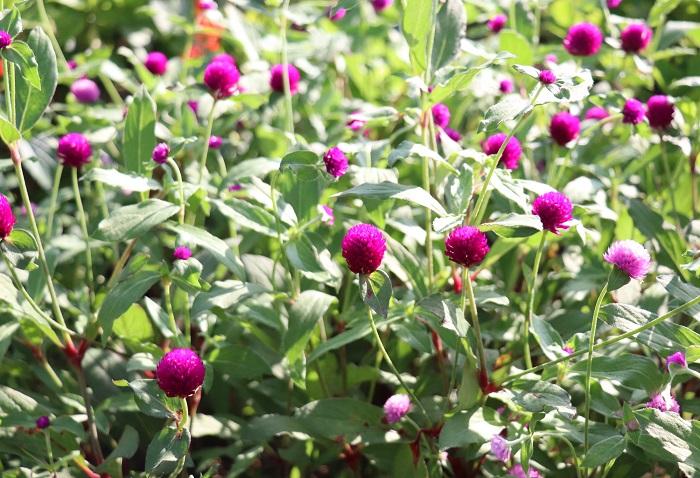 センニチコウは、暑さや乾燥に強く、寒さに弱い一年草です。6月~10月頃の長期間、すっと伸びた茎の先に丸いポンポンのような花を咲かせます。センニチコウはその可愛い花姿(苞)が切り花やドライフラワーとしても好まれています。