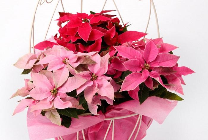 プリンセチアの花期は12月~2月頃。プリンセチアは華やかなピンク色の苞が特徴的で、プリンセスのような印象とポインセチアを組み合わせて名付けられました。ポンセチアと比べると寒さ暑さにやや強く丈夫ですが、冬の間は室内の日当たりの良い場所で育てます。