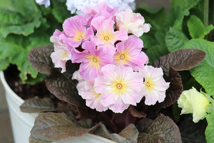 プリムラは品種改良されたものを含めると約500種類もあると言われています。プリムラ・ジュリアンの花期は11月~4月頃で、草丈が低くコンパクトなプリムラです。花の形は一重咲き、八重咲き、バラ咲きなど様々あります。葉色はグリーンと銅葉色があります。
