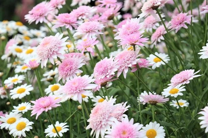 マーガレットは一重咲きのほか、八重咲きやポンポン咲きなど変化に富み、花色も豊富に流通しています。草丈は品種によって様々で、30~100㎝まであります。