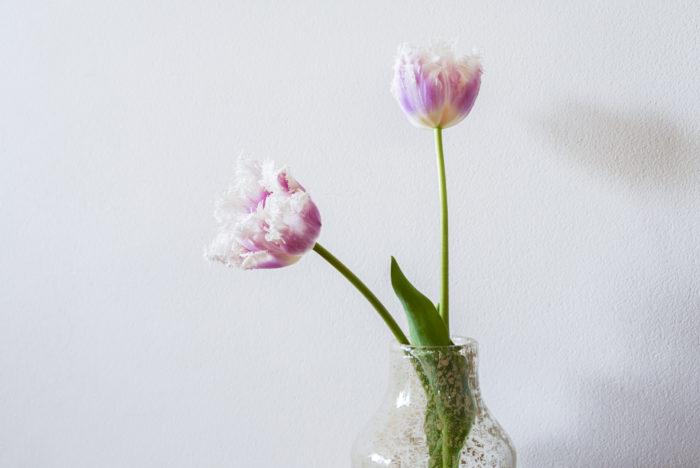おすすめの品種 私のおすすめは、最近本当によく目にするようになった「フリンジ咲き」のチューリップ。