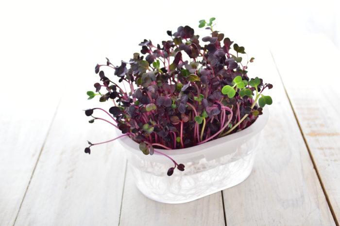 発芽から、約1週間で収穫できるスプラウトは、初心者さんには特におすすめ!すぐ収穫できるので、何種類か試してみるのも楽しいです。