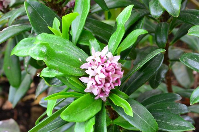沈丁花(ジンチョウゲ)の特徴 沈丁花は爽やかな芳香が印象的な常緑低木です。沈丁花の花の香りが好きだという人も多いようです。沈丁花の花は外側がピンク色で中は白色です。他に外側も内側も真白な白花種もあります。