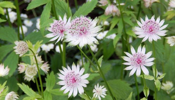 アストランティアの花言葉や種類、特徴をご紹介!アストランティアは、星のような形の花を咲かせる植物。自然の風情が感じられるナチュラルな雰囲気が人気で庭植えや鉢植え、切り花、ドライフラワーなどに幅広く使われています。