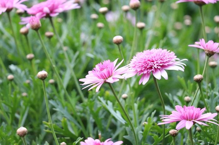 ピンク色は優しい色合いで人に良い印象を与え、愛情や感謝の気持ちを伝えるときにぴったりな色と言われています。確かに、プレゼントやラッピング、リボンなどを選ぶ時もピンク色を選ぶ場面は多いですよね。お花屋さんでもピンク色の花は人気があるのではないでしょうか。ピンク色にはネガティブなイメージが無く、ピンク色の花を見ていると心が和み、明るく優しい幸せな気持ちになるように感じます。  ピンク色は桜色や桃色のような言い方もあり春のイメージがあるかもしれませんが、春以外の季節にもピンク色の花を咲かせる植物がたくさんあります。それではピンク色の花が咲く草花を紹介していきます。