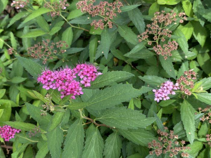 シモツケの特徴 シモツケはピンク色の小さな花を、枝の先に毬のように咲かせる落葉低木です。生長しても1m前後と育てやすいことから、庭木として愛されてきました。シモツケの花色にはピンクの他に白や赤があります。