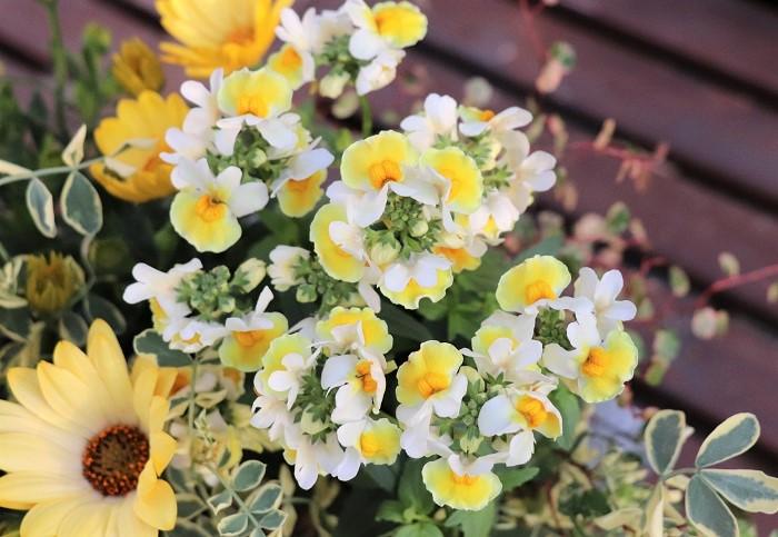 宿根ネメシアは、東京以西の暖かい地域では霜に当たらなければ越冬して翌年も花を楽しめます。