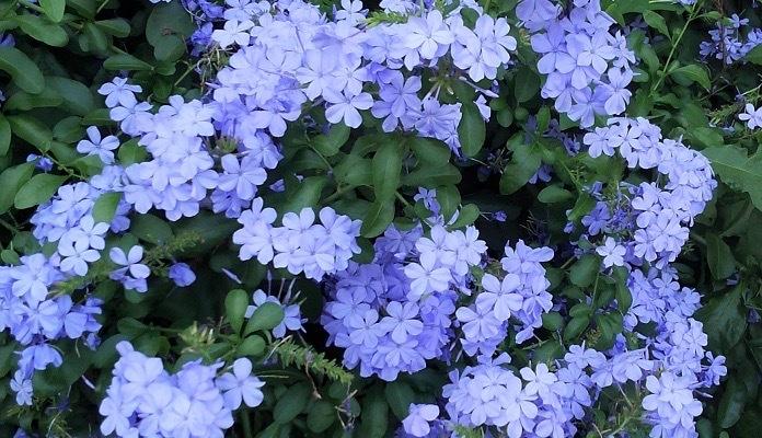 ルリマツリは、夏から秋に涼し気なブルーや白い花を長期間咲かせるイソマツ科の半耐寒性常緑低木です。  半つる性なので、支柱やトレリス、お庭の柵などに這わせて仕立てると見事な光景になります。初夏から秋と開花期間が長いため、大株になるとワンシーズンでたくさんの花が開花します。ガーデニングにおすすめの夏の花です。