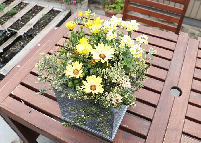 写真の寄せ植えは、オステオスペルマムを中心にビタミンカラーのイエロー系の草花を集めて作りました。  寄せ植えに使った草花  オステオスペルマム×2 宿根ネメシア コロニラ・バレンティナバリエガータ フォックスリータイム ロータスブリムストーン 斑入りワイヤープランツ