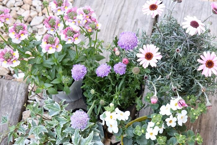 それでは、3月の寄せ植えに使いたい草花を紹介していきます。  3月は穏やかな暖かい日が増えるものの、急に寒くなったりとまだ寒暖の差があります。寒さに強い草花を中心に、春らしい草花をセレクトして寄せ植えを作りましょう。