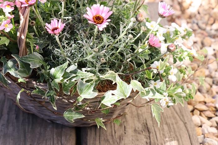 アイビーは株分けして寄せ植えの何か所かに分けて植えることができます。写真のように、株分けした一つを寄せ植えの後ろ側に植え込み、茎を前に流すようにすると、どこから見ても美しい仕上がりになります。