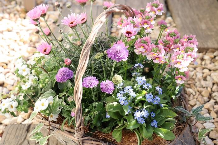 春の訪れを知らせてくれるように植物たちが生き生きと動き始める3月。やわらかい日差しの中で草花がすくすくと育ちます。春になると園芸店には様々な色や形の花苗が豊富にそろうので、寄せ植えの組み合わせも好きなものが見つかりやすいのでは。春は絶好のガーデニングシーズン。ぜひ、お気に入りの寄せ植えを作ってお楽しみください。  写真の寄せ植えは、手つきのかごを器にしてパステルカラーの草花を植え付けました。器が軽いので移動しやすく、玄関やお庭、ベランダなどその日の気分で飾る場所を変えられます。プレゼントにも喜ばれそうですね。  寄せ植えに使った草花  ローダンセマム(ピンク) 宿根ネメシア(ピンク) スカビオサ[松虫草](紫) バコパ[コピア](白) ワスレナグサ(水色) アイビー