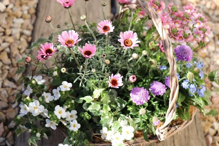 置く場所 寄せ植えは屋外の風通しの良い日なたに置きます。日があまり当たらないと、花が咲きにくくなります。  水やり・肥料 暖かい日が続くと土が乾きやすくなります。また、かごタイプの器は排水性が良く、普通の鉢に植えるよりも若干土が乾きやすいことがあります。株元の土の乾き具合を確認して、水切れしないように水やりしましょう。雨にあたった日は水やりはお休みします。  植え付けるときに肥料入りの培養土を使った場合は、1カ月後から液肥や固形肥料を与えましょう。  花がら取り 咲き終わった花(花がら)や古い葉は、見た目も悪く病害虫の発生も促すので早めに取り除きます。花がらを取ることで、次の花が咲きやすくなります。  花後の管理 3月につくる春の寄せ植えは、上手に管理して5月または6月頃まで楽しめたら大成功です。一年草は枯れてしまったら抜き取り、夏の高温多湿に弱い多年草は別の鉢に植え替えて涼しい半日陰で管理して夏越しするのがおすすめです。