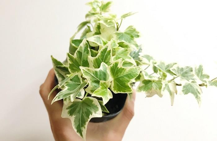 白い斑の入ったアイビーは一見全部同じように見えるかもしれませんが、斑の入り方や色、葉の形は品種によって全く異なります。寄せ植えに合わせてみるとその違いがはっきりとわかります。