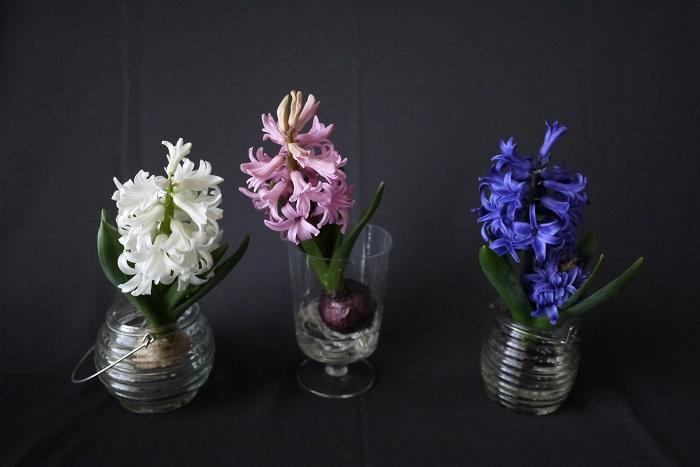 ヒヤシンスの原種の花の色は青紫です。そこから多くの園芸品種が作出されました。現在流通しているヒヤシンスの花の色は、青紫の他に白、黄、ピンク、赤、赤紫などがあります。  最近ではダークカラーの大人っぽいヒヤシンスも流通しています。