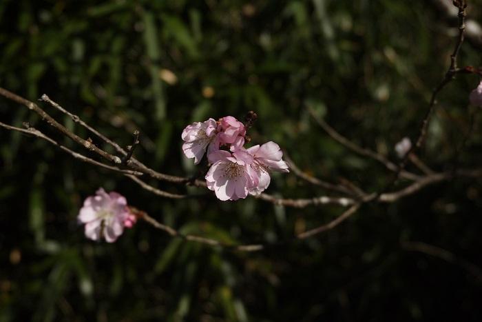 フユザクラの特徴 フユザクラは日本に自生するヤマザクラやサトザクラ、マメザクラなどの交雑種だと考えられています。秋から冬に花を咲かせるのでフユザクラと呼ばれます。フユザクラには淡いピンク色から白花などがあります。