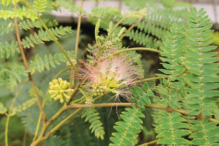 ネムノキの特徴 ネムノキは初夏から夏にかけて、羽毛のようなふわふわとした可愛らしい花を咲かせる、マメ科の落葉高木です。夜になると葉を閉じることから、ネムノキという名前がつきました。