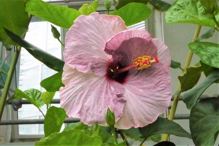 ハイビスカスは、南国の花のイメージが強いですが、実はムクゲやフヨウの仲間です。ハイビスカスの花は、朝咲いて夕方にはしぼんでしまう一日花です。ハイビスカスの花色は、ピンクの他に、赤、黄、白、複色等があります。