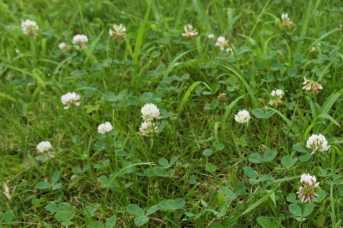 植物名:クローバー 学名:Trifolium 科名、属名:マメ科トリフォリウム(シャジクソウ)属 分類:一年草あるいは多年草 クローバーの特徴 クローバーとは、マメ科トリフォリウム(シャジクソウ)属の総称です。日本でクローバーの代表種のように愛されているのは、シロツメクサという種類です。  クローバー(シロツメクサ)はヨーロッパ原産で、日本に渡来したのは江戸時代だといわれています。輸入船の荷物の隙間に緩衝材として詰められていたのがきっかけで日本に根付き、広まっていったとのこと。そのため名前も白詰草(シロツメクサ)となりました。  クローバーは他のマメ科の植物同様、根に根粒菌を持っているので土壌を肥沃にします。他にも牧草や蜜源として利用されてきました。