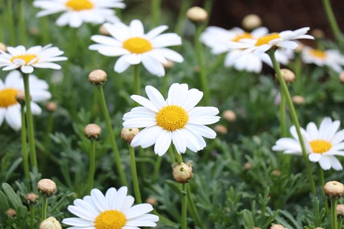 マーガレットの開花期は11~5月頃。ガーデニングでとても人気のある花です。代表的なものは花の中心が黄色で、白く細い花びらが特徴的なタイプ。葉はギザギザしていて、スラリとした茎を伸ばして花を咲かせます。