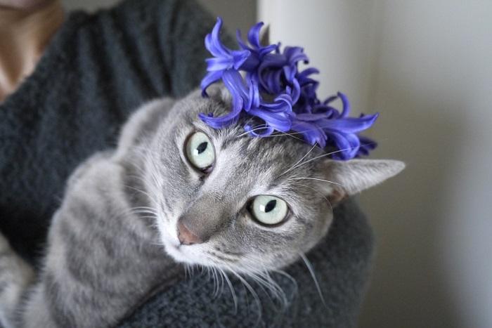 ヒヤシンス1本分の花を繋ぎ合わせたら、猫のティアラにちょうどよいサイズになりました。