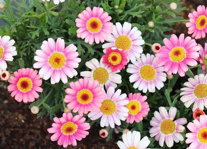 このように、濃いピンクと淡いピンクの花が混ざって咲くタイプもあります。マーガレットは霜に当たらなければ戸外でも冬越しができますが、高温多湿が苦手なため梅雨時や真夏の高温期には花を休みます。(涼しい地域では夏場も花を楽しめます。)