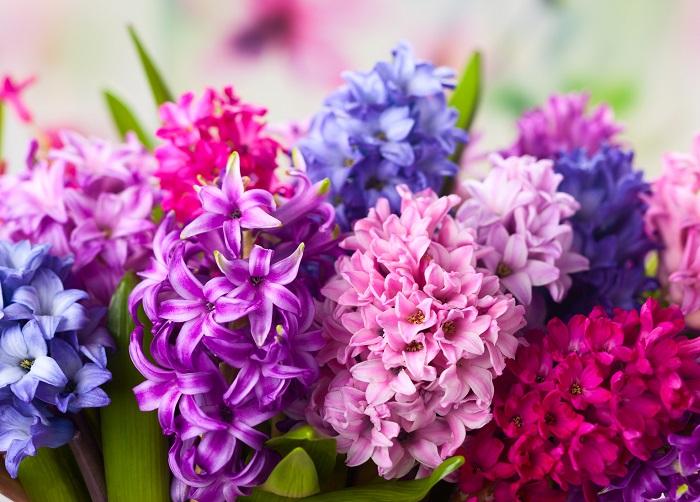 ヒヤシンスは、小さな花を花茎に連なるように咲かせる球根植物。花が咲き始めるととても良い香りがします。ヒヤシンスの花期は3月~4月頃。蕾が固く閉じている苗を選んで育てると、ゆっくり観察しながら開花を待つことができます。ヒヤシンスは屋外でも室内でも育てられますが、外で育てると芽吹きから開花までのスピードが遅いので長期間花を観賞できておすすめです。