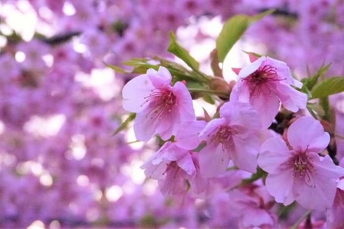 学名:Prunus lannesiana cv. Kawazu-zakura 科名:バラ科 分類:落葉高木 開花期:2月~3月 カワヅザクラの特徴 河津桜は2月頃から開花し始める、早咲きの桜です。静岡県河津町で発見されたので河津桜と名付けられました。鮮やかなピンク色が美しい桜です。