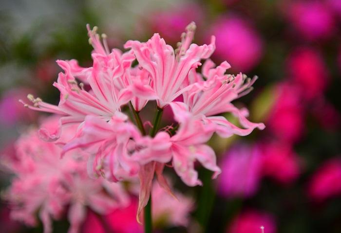 ネリネは10月~12月頃、ヒガンバナによく似た花を咲かせる秋咲き球根植物です。花びらが反り返り、小さなユリの花が集まっているような咲き方をします。花びらに光沢がありキラキラと光るので、ダイヤモンドリリーという名前でも親しまれています。鉢花だけでなく切花としても人気があります。ネリネは耐寒性があまりなく、夏の蒸れにも強くないので、霜に当たらないように冬を越えて、夏の過湿に気を付けて管理できると数年植えっぱなしでも花を咲かせます。