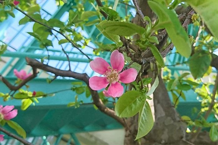 カリンの特徴 カリンは春に花が咲き、秋に洋梨のような果実を実らせる落葉高木です。カリンの花は春、ソメイヨシノよりも少し遅れて開花します。明るいピンク色のリンゴの花のような可愛らしい花です。