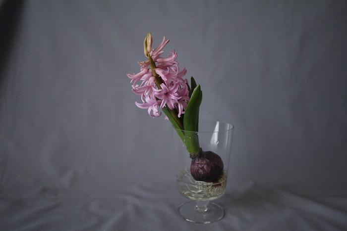 ヒヤシンスの香りは、春の訪れを告げるような甘く爽やかな香りです。ヒヤシンスの香りを嗅ぐと、目が覚めるようなすっきりとした気持ちになります。  ヒヤシンスの優しい香りは、空気の中に充満して、部屋いっぱいに広がるような、そんな皮可愛らしさがあります。
