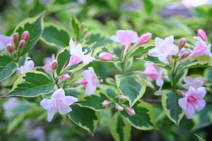 タニウツギの特徴 タニウツギは初夏に明るいピンク色の花を咲かせる落葉低木です。タニウツギの花色はピンクでも濃く赤に近いピンクから、淡く明るいピンクまでバリエーションが豊富です。