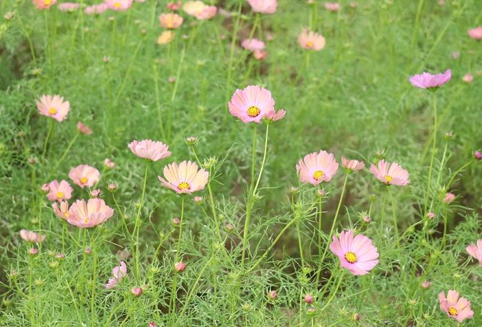 コスモスは6月~11月頃、繊細な茎の先に可愛い花をつけ、風に揺れるように咲きます。群生させると見事な光景になります。咲き方は一重咲き、八重咲き、ストロー咲きなど様々あります。