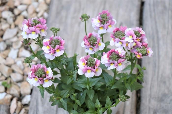 宿根ネメシアは、-3℃以上の気温があれば1年中開花する四季咲き性の性質があります。様々な色があり、メインの花を引き立てる可愛い小花が寄せ植えのアクセントに使いやすいです。
