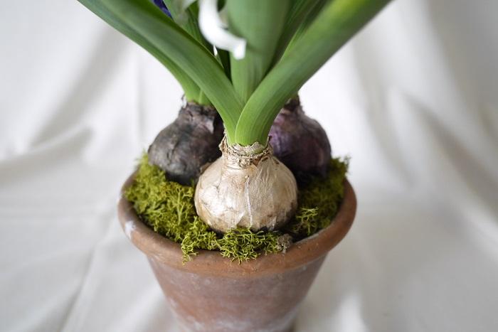 庭植えのヒヤシンスは植えっぱなしで問題ありません。うまくいけば分球して増えていきます。ヒヤシンスは植えっぱなしで毎年可愛らしい花を咲かせてくれます。  ヒヤシンスの球根は分球しにくいのか、思うように増えていかないことがあります。そんな時は花が終わった後、周囲の土に緩効性肥料をまくようにしましょう。肥沃な土壌でしっかりと光合成をさせて球根を太らせることで、子株ができやすくなります。  瘦せた土壌に植えっぱなしにしておくと年々花が小さくなっていきます。数年経過するとヒヤシンスとは思えないくらい小さな花が咲いたりします。それはそれで何とも言えない可愛らしさがあります。