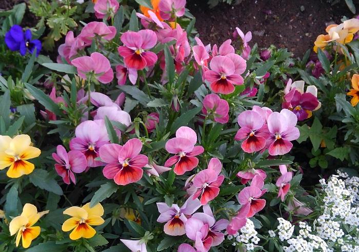 ビオラはパンジーより小ぶりの花を10月~5月頃まで咲かせます。パンジーは花が大きいので一つ一つの花が咲くのに少し時間がかかりますが、ビオラは小さな花が次々と咲き、咲き終わると花びらが丸まってきてしおれます。しおれてきた花を摘み取ると次の花がどんどん咲きます。ビオラも花の形や咲き方の種類が豊富です。