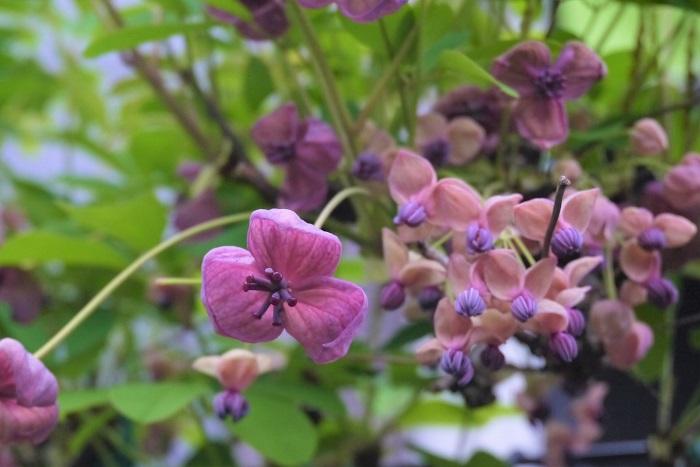 アケビの特徴 アケビは日本の山野に自生するつる性木本です。秋に熟す果実は甘みがあり、食用になります。アケビの花色はピンクの他に白もあります。アケビの花は、大きいのが雌花、小さな花が塊になって咲くのが雄花です。