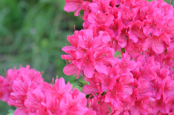 アザレアは、日本のツツジを親にしてヨーロッパで改良された常緑低木です。ツツジによく似た花を咲かせます。花は、一重の他に八重咲きがあります。花色は、ピンクの他に白もあります。