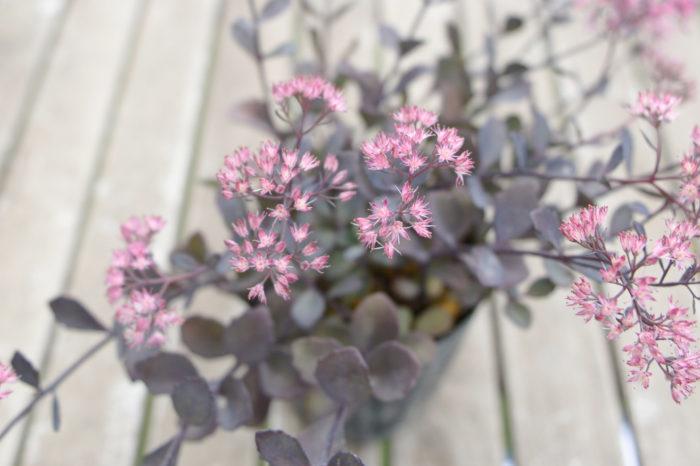 ミセバヤは9月~11月頃、茎の先端に小さな花を房状に咲かせます。古典植物として古くから親しまれている植物です。葉は肉厚で丸く、縁に細かい切れ込みがあります。暑さ寒さに強く、丈夫で育てやすい性質です。