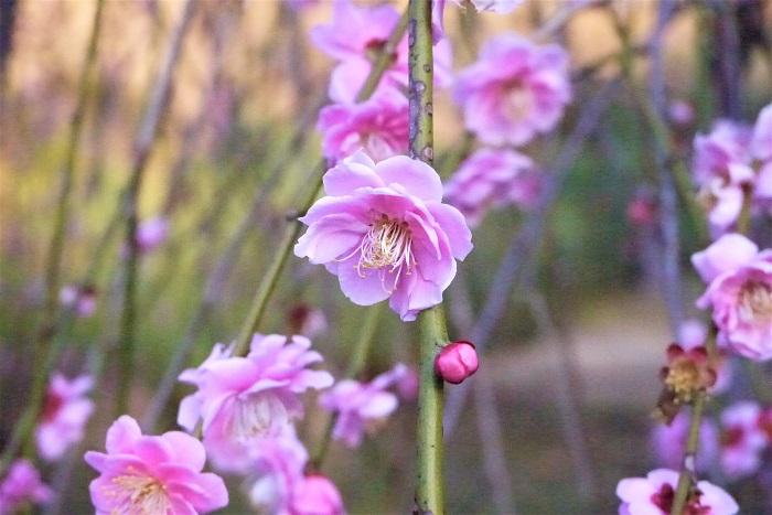 梅(ウメ)の特徴 梅は春の訪れを代表するような落葉高木です。まだ寒い初春から香りのよい花を咲かせます。梅の花色はピンクの他に、白、赤、複色等があります。1本の木で白とピンクの2色の花を咲かせる品種もあります。