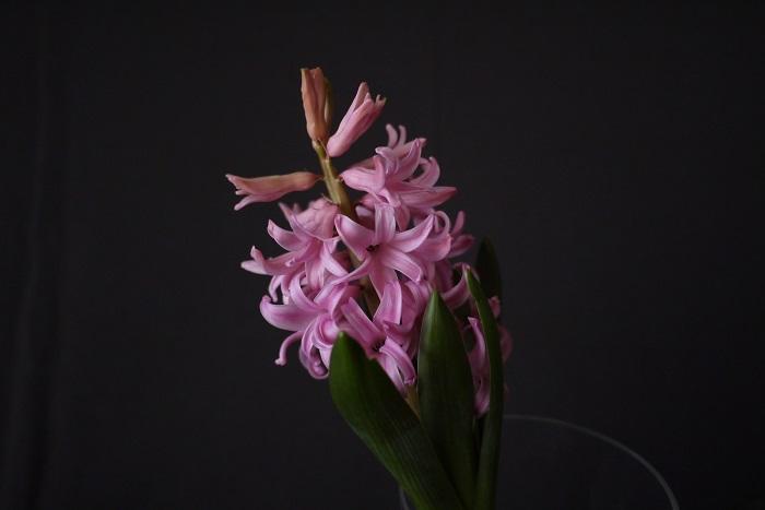 ヒヤシンスは切り花でも流通しています。もちろん自宅で咲いたものを花瓶に生けてもよいでしょう。ヒヤシンスの生け方にはコツがあります。