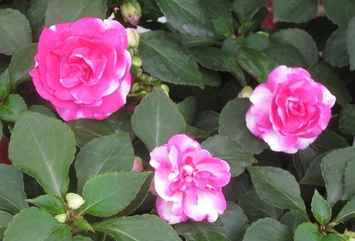 インパチェンスは4月~10月頃、可愛らしい花を次々と咲かせます。咲き方は一重咲き、八重咲きなど様々あります。真夏の直射日光は苦手なので半日陰のシェードガーデンにぴったりな花です。移植を嫌うので、あまり根をくずさずにさっと植えると状態良く育ちます。寒さに弱いので日本の気候では一年草として扱われています。