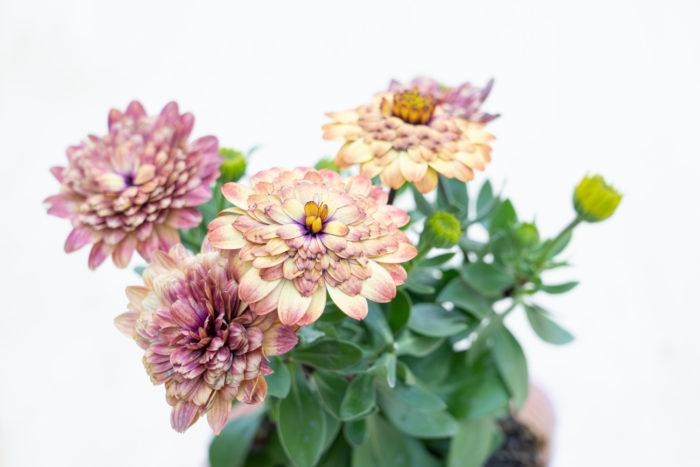 オステオスペルマムは一重咲きのほか、八重咲きタイプもあります。様々な色や咲き方があり、寄せ植え作りのメインとわき役どちらにも使えます。