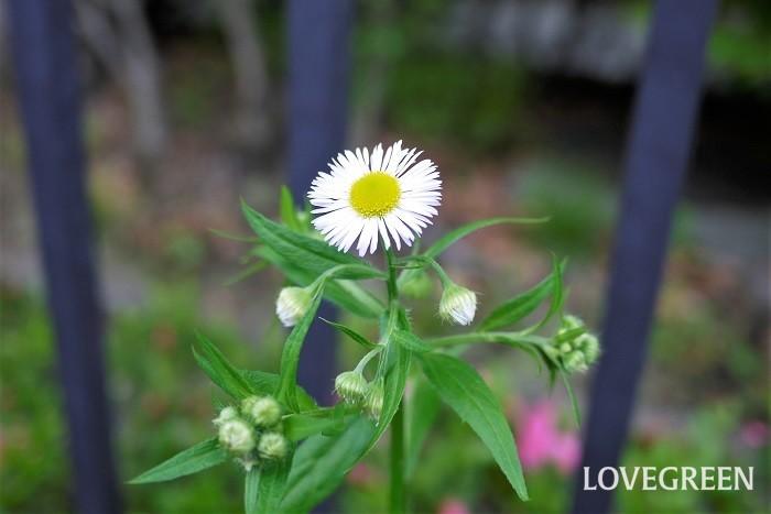 ヒメジョオンの花の咲く季節